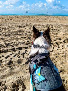 border collie at the beach