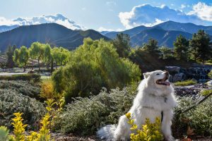 samoyed dog smiling in front of mountains