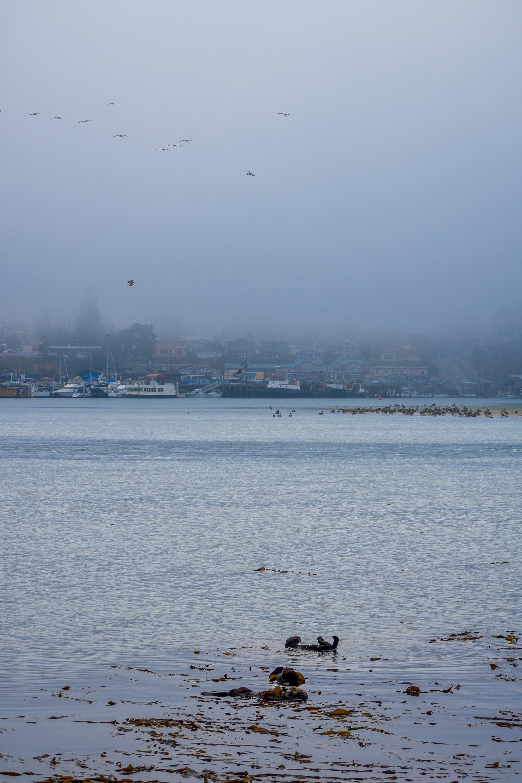 Sea otters sleep peacefully and birds take flight on a foggy morning in Morro Bay, California.