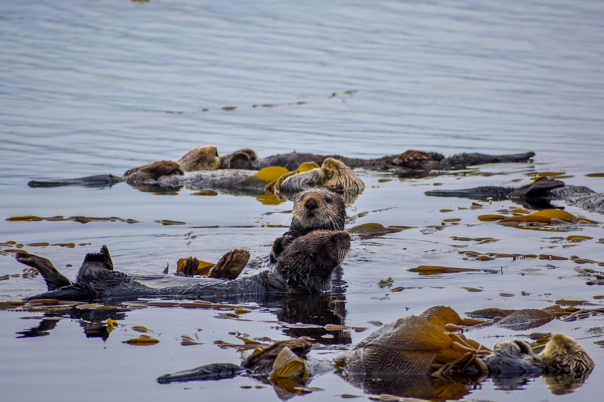 Sea otters begin to wake up after a good night's rest in Morro Bay, California.