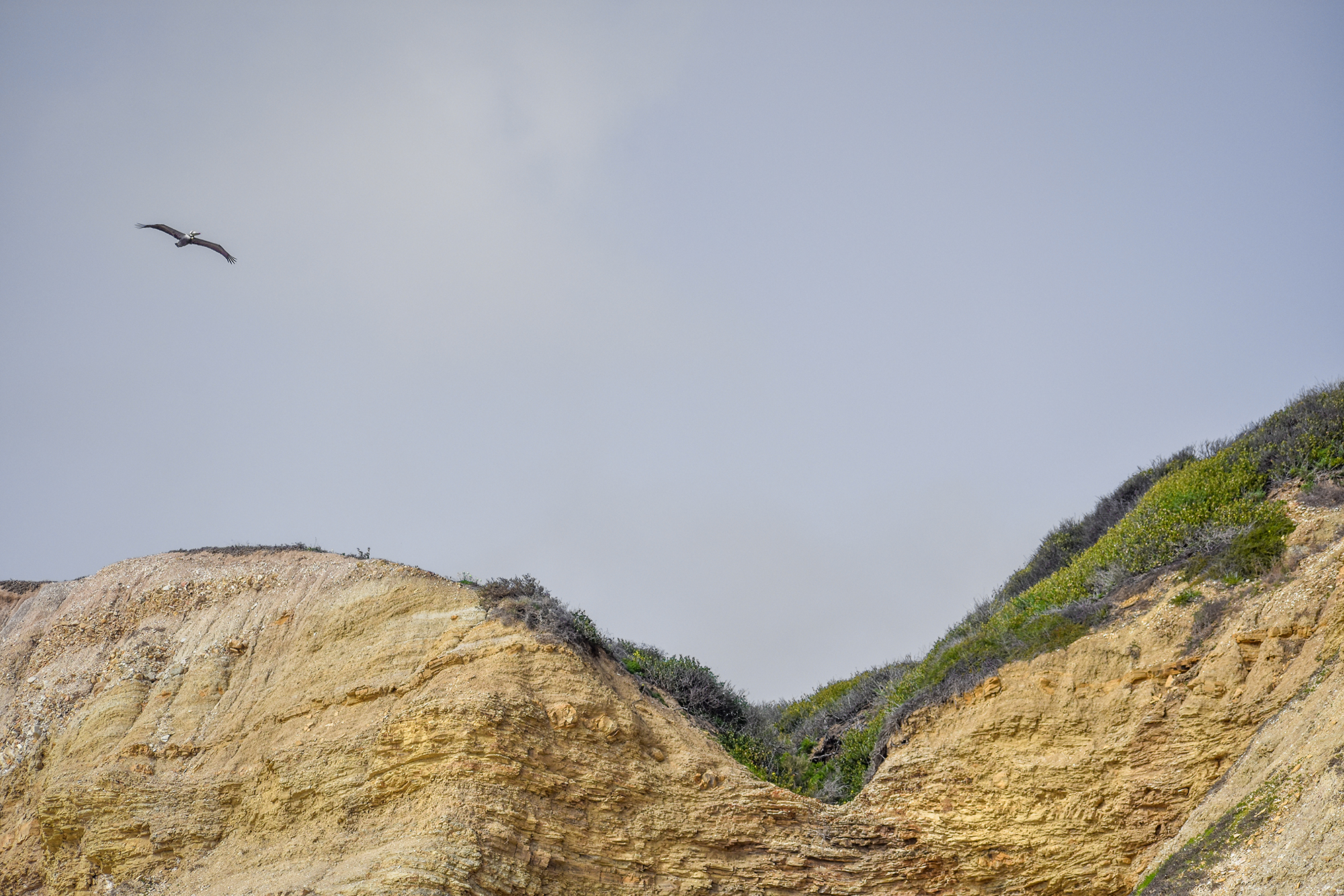 Pelican flys over a coastal cliff along the coast of Southern California.