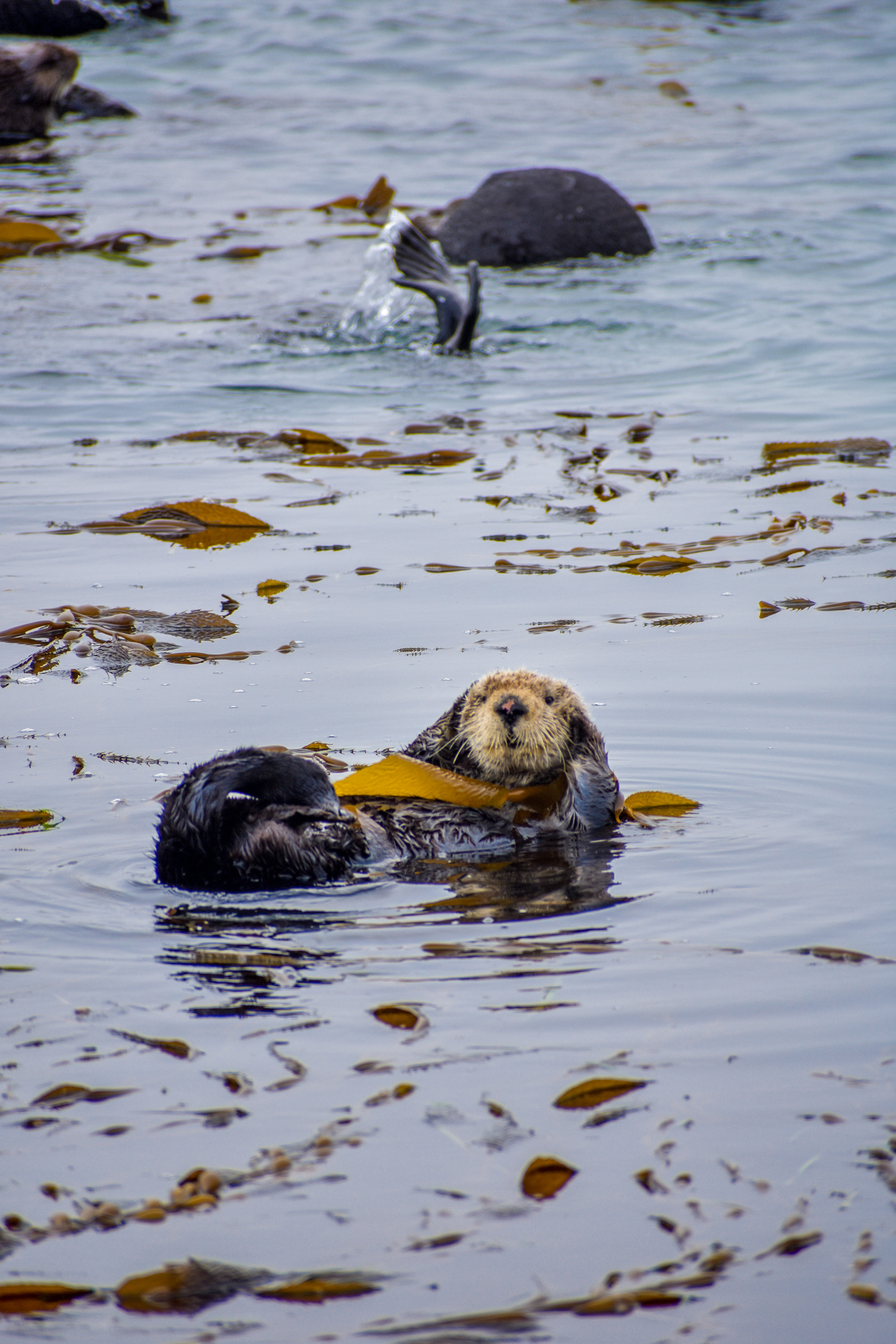 A sleepy sea otter is awoken by the splash of his friends diving.