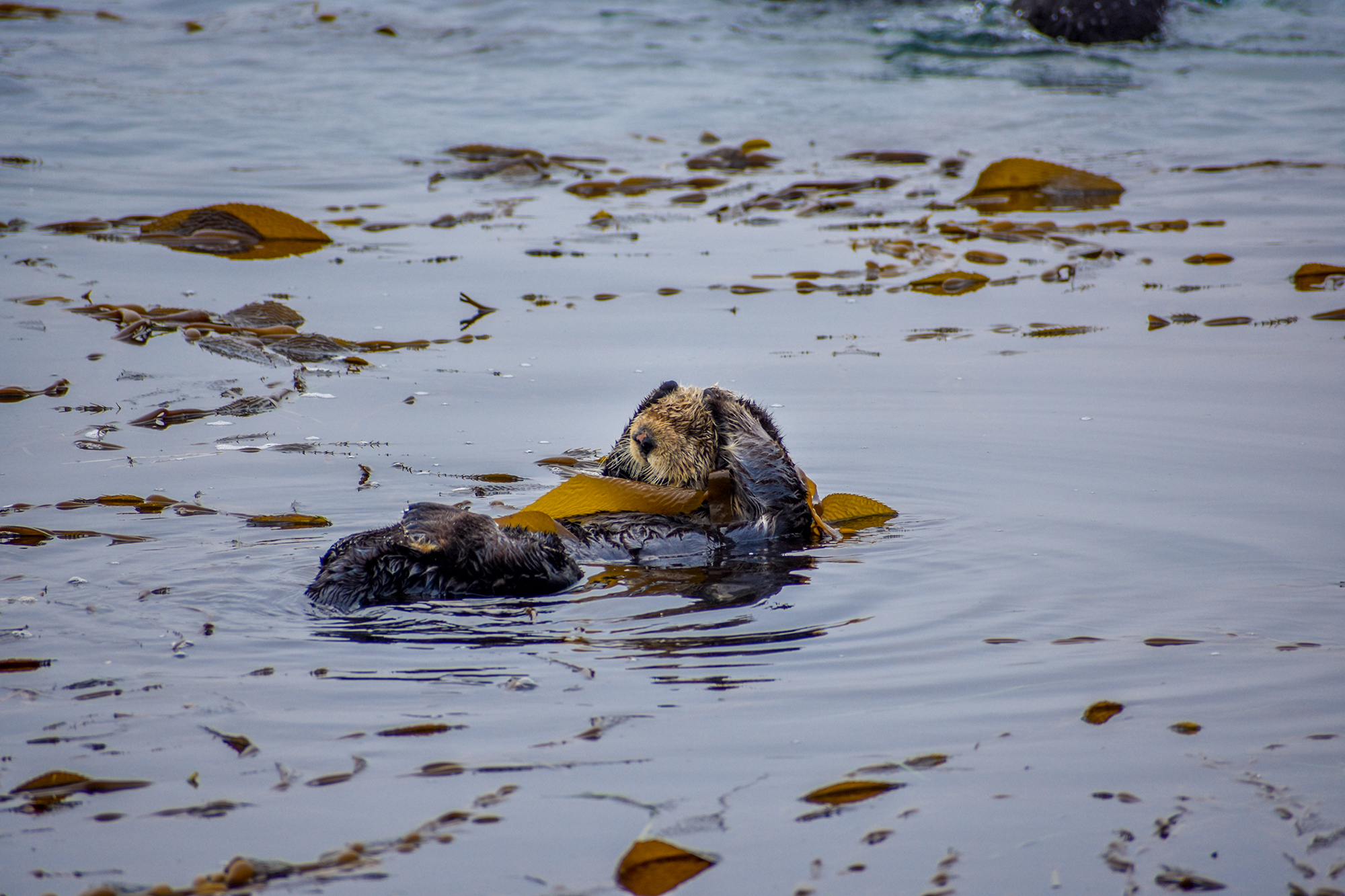 Sea otter touches his head while waking up in Morro Bay, California.