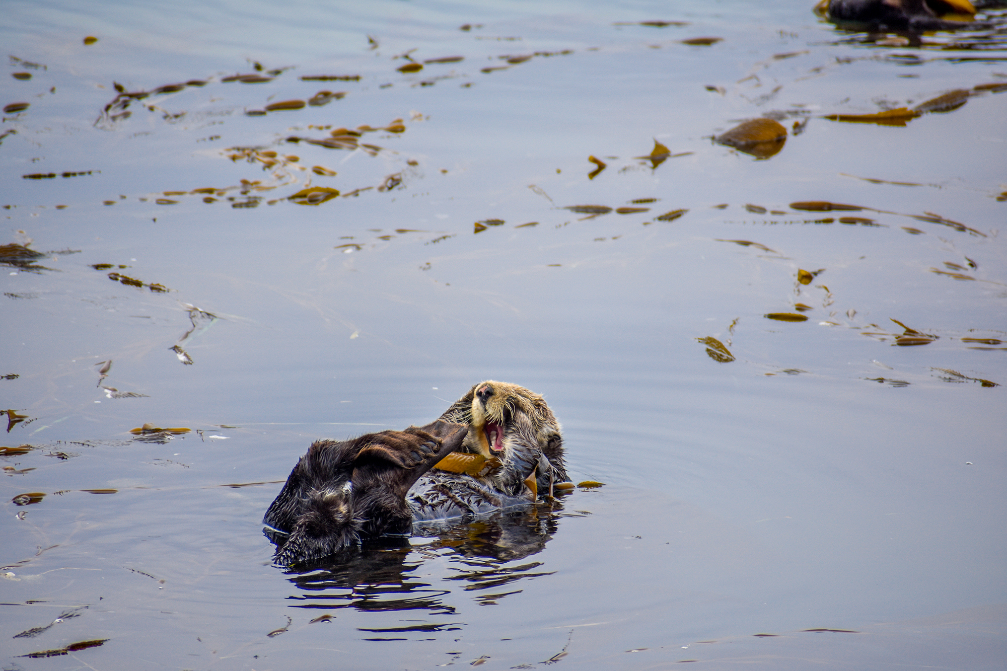 A tired sea otter lets out a yawn while floating in Morro Bay, California.