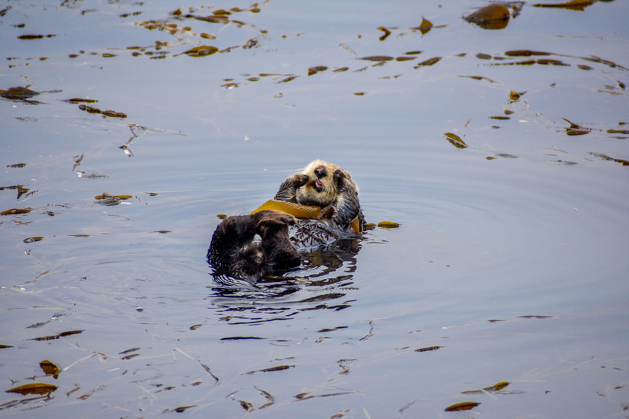Sea otter sticks his tongue out while resting.
