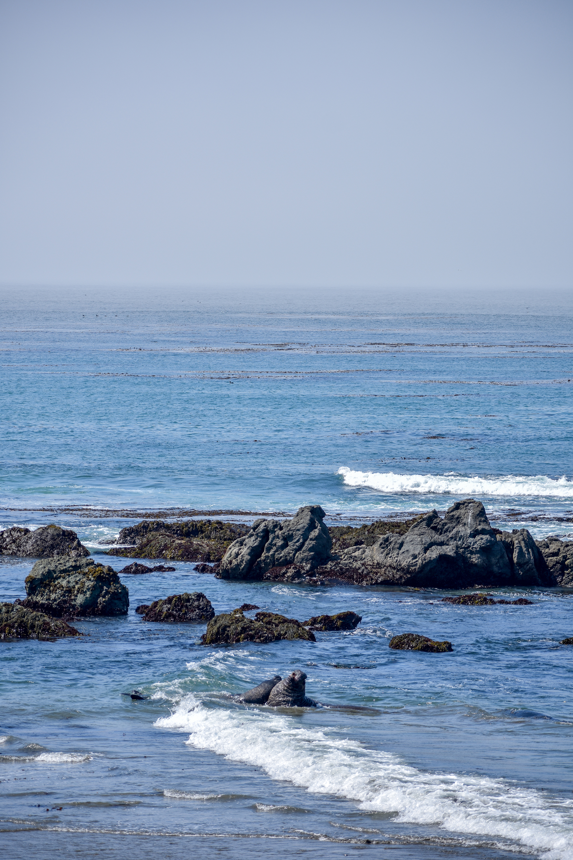 Elephant seals fight in the surf off San Simeon, California.