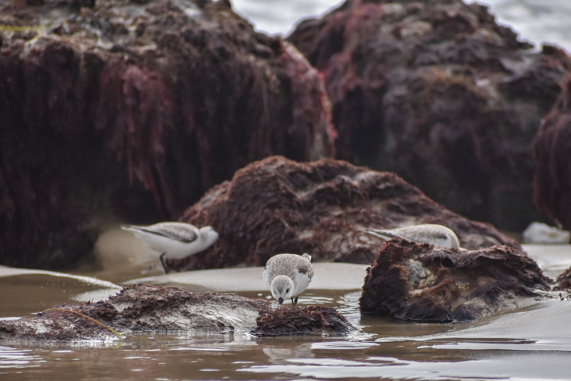 Sand pipers search for food nestled in purple rocks along the Southern California coastline.