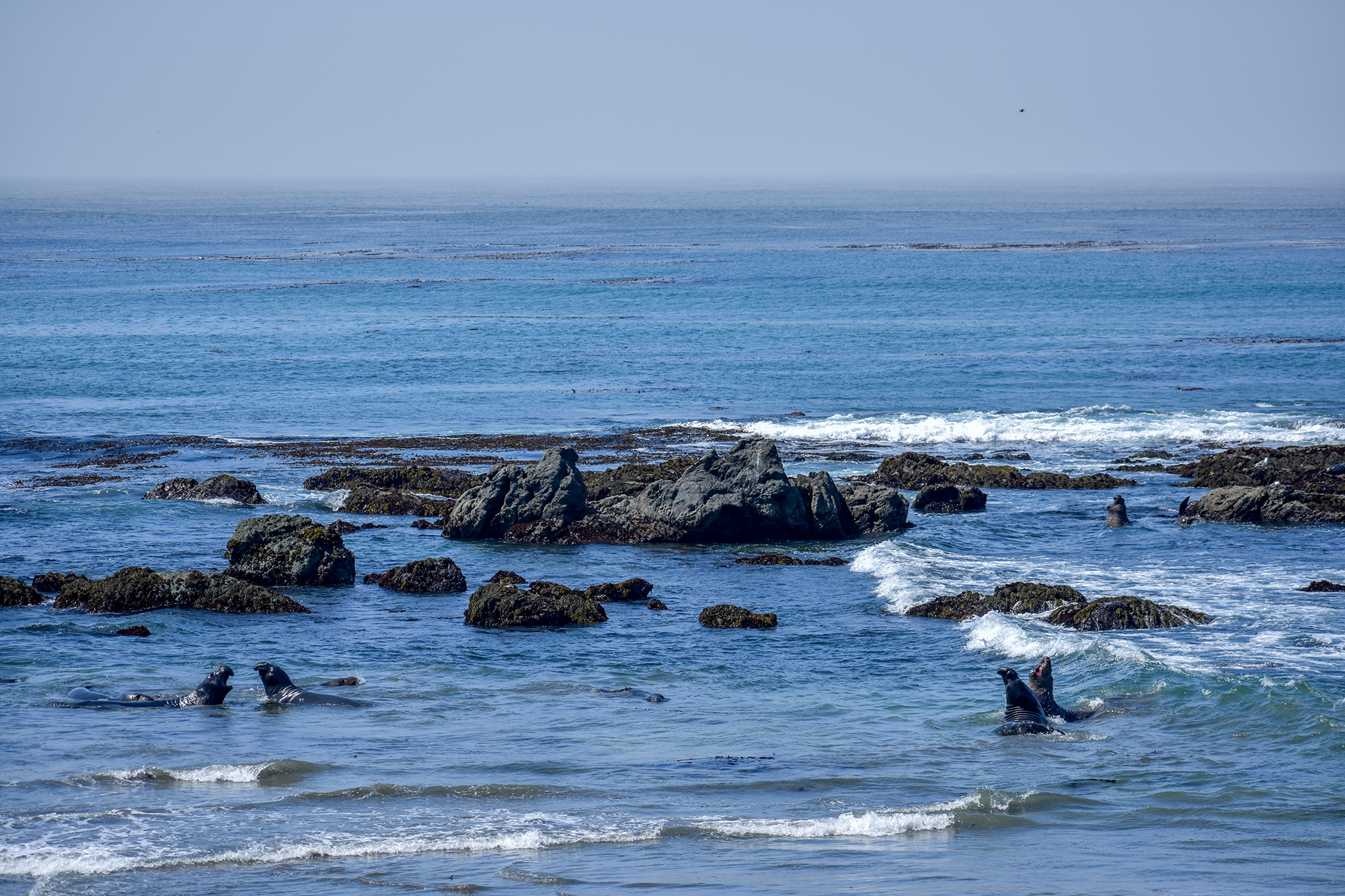 Elephant seals fighting in the shallows.