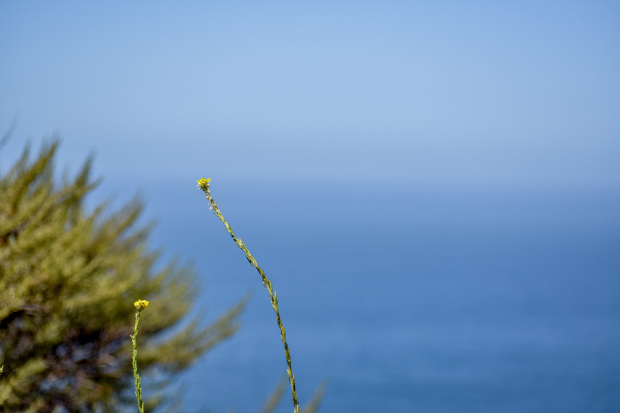 A peaceful yellow wildflower amongst an ocean background in Big Sur, California.