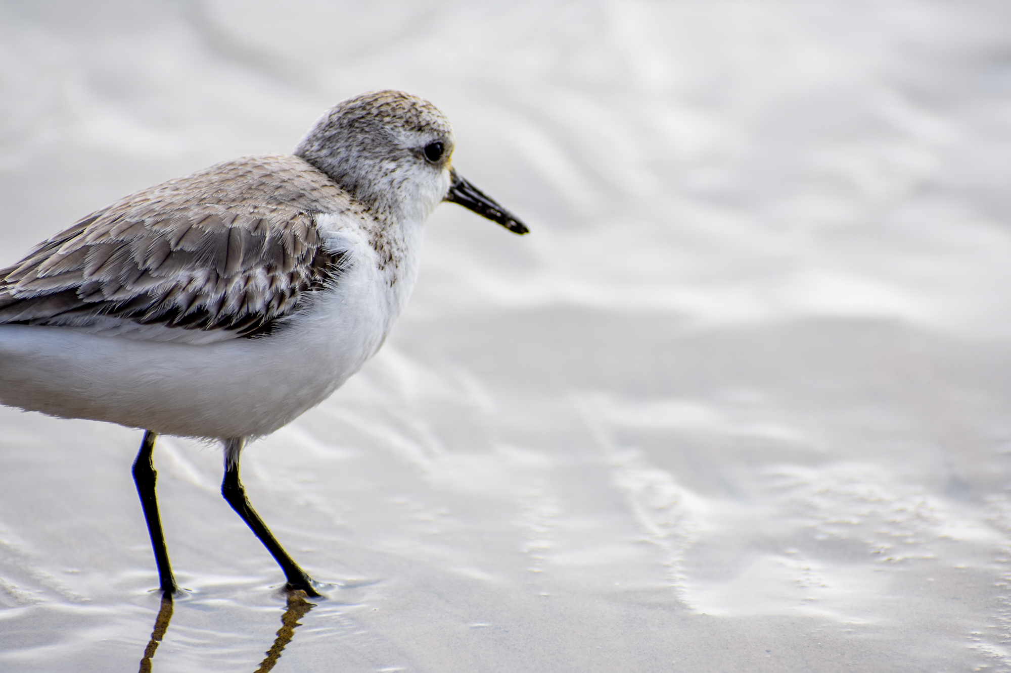 A sand piper looks out at the ocean from the shoreline.