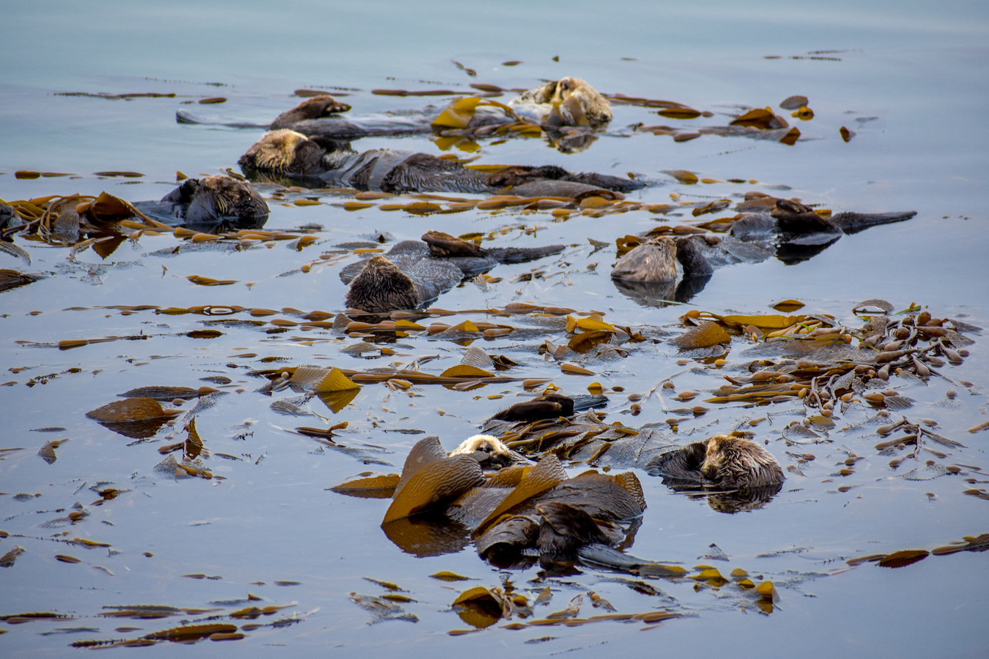 A group of sleeping sea otters wrapped in kelp in Morro Bay.