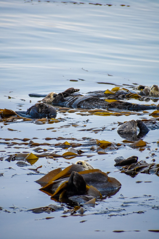 Sea otters sleeping in Morro Bay, wrapped in kelp.